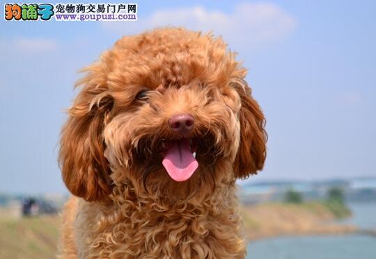 选购一只即健康又纯种的泰迪犬要注意什么