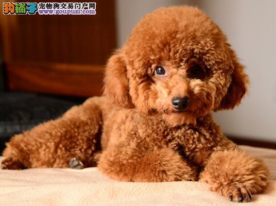 想买一只泰迪犬,挑选什么样的泰迪犬好