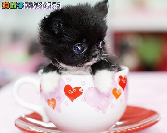 如何才能挑选到一只健康的茶杯犬