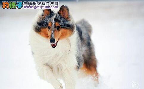 挑选苏格兰牧羊犬要看形态特征和性格