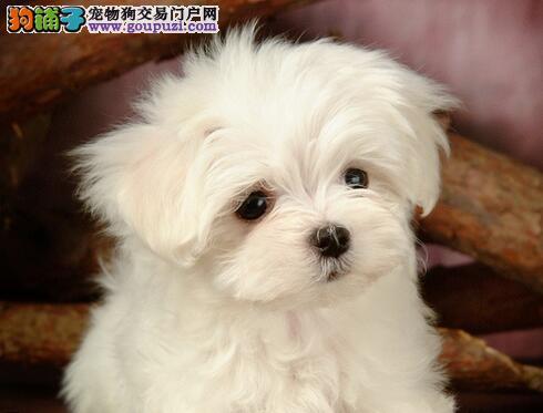 拥有一身柔软螺旋状白色卷毛的比熊犬