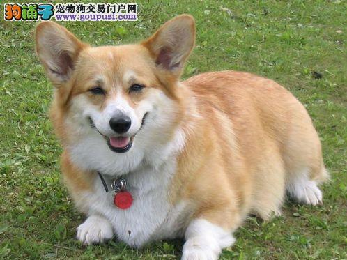 柯基犬个性温驯充满智慧,是很好的家庭犬
