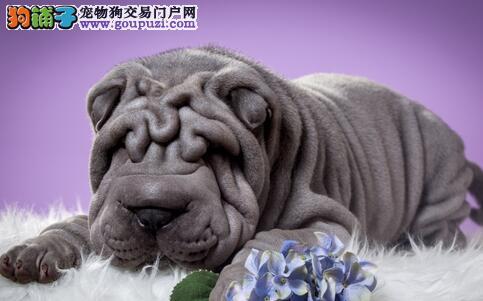 充满忧郁的沙皮狗,满身褶皱因丑被世人钟爱