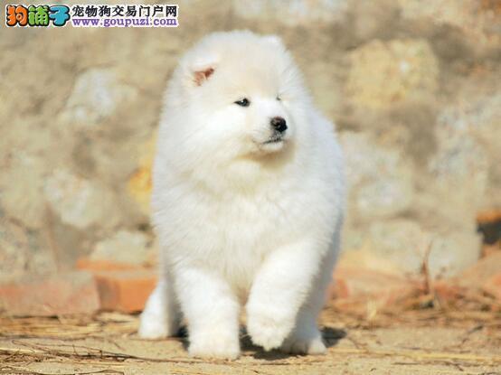 萨摩耶犬是优秀的伴侣犬,警惕且聪明