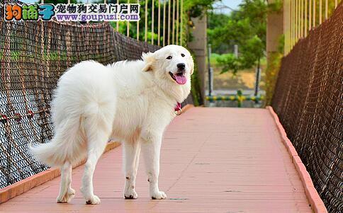 挑选优质的大白熊犬,先来了解大白熊性格