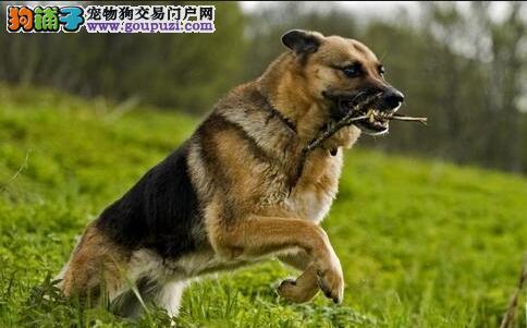 优秀的德国牧羊犬挑选标准