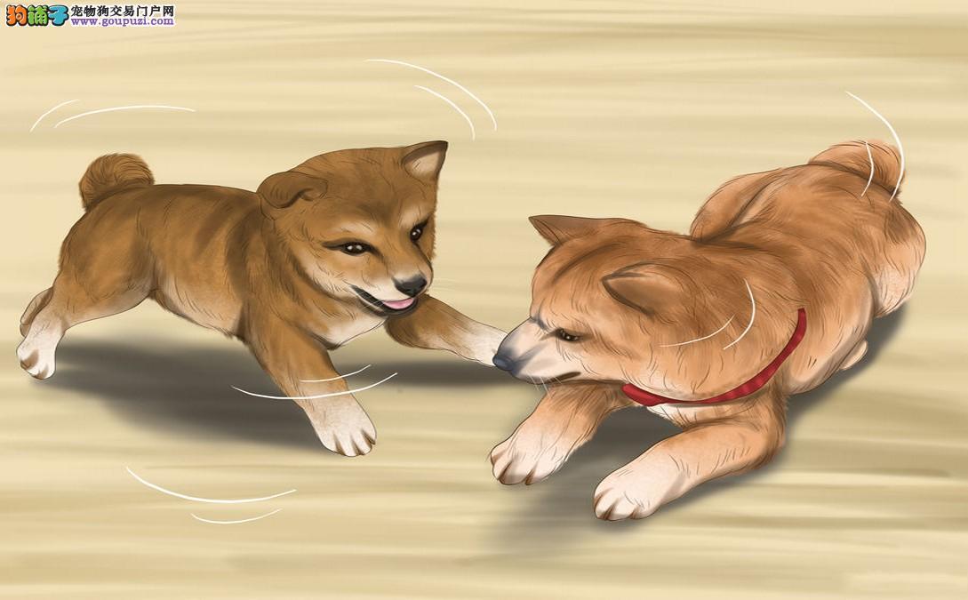 评估柴犬幼犬性格
