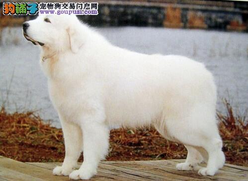 """如何挑选大白熊犬幼犬,挑选时一定要注意""""两看"""""""