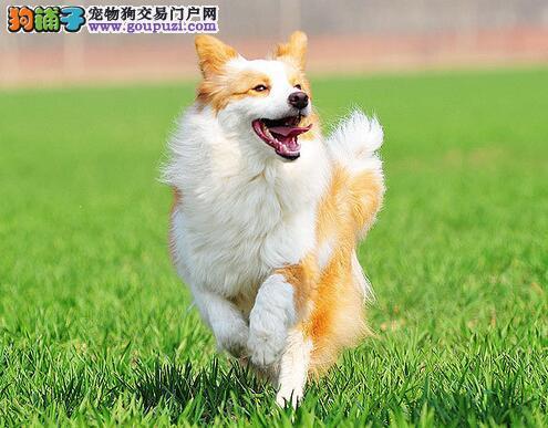 想养一只长久陪伴你的狗狗,边境牧羊犬是不错的选择
