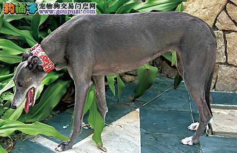 格力犬挑选标准和外形特征