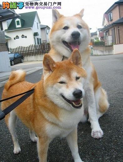 秋田犬与柴犬的区别
