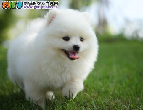 了解博美犬的生活习性及性格特点
