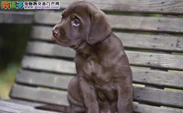 最容易饲养的宠物狗,拉布拉多犬