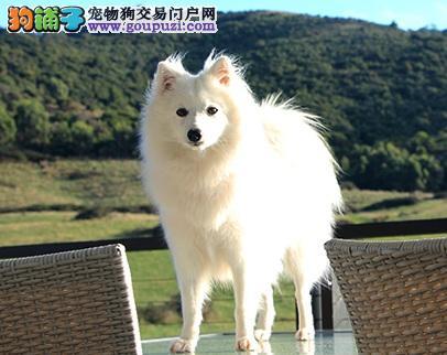 警觉性高的银狐犬,一见陌生人就叫