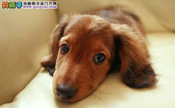 纯种腊肠狗的了解,最大特点身长腿短