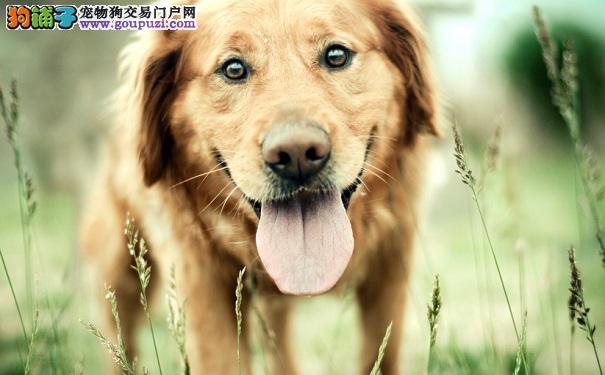 拥有贵族气势的黄金猎犬