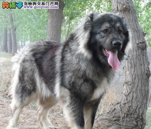 购买多大的高加索犬最适合饲养