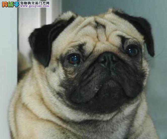 深入了解八哥犬的性格特点