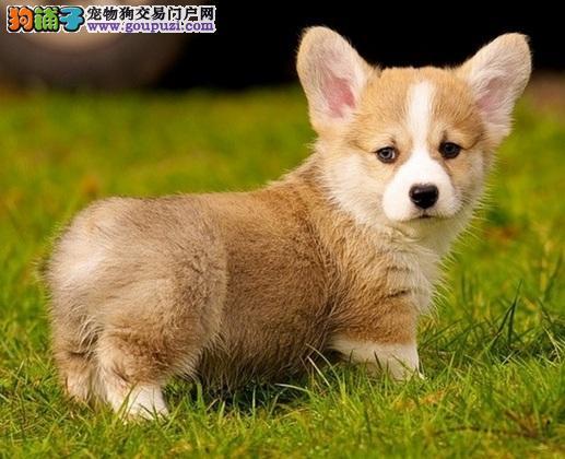 三个理由告诉你,为什么要选择养一只柯基犬