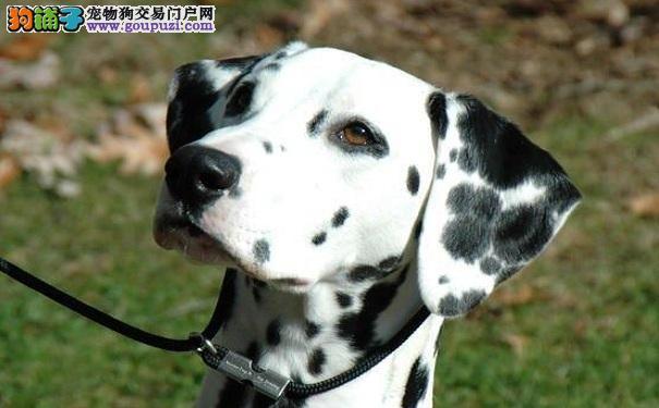 斑点狗好养吗?