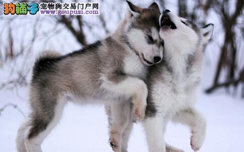 怎么挑选阿拉斯加犬幼犬,有什么方法技巧?