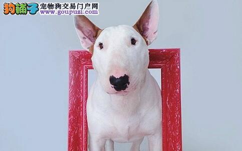 犬中的斗士牛头梗,天生一张明星脸