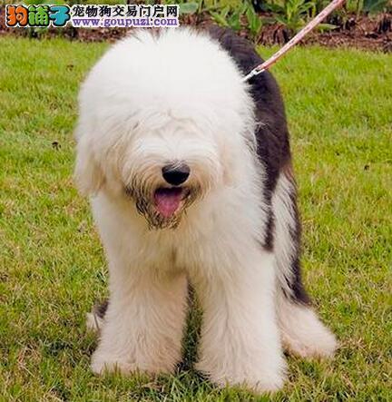 动作笨拙的古代牧羊犬性格你了解吗?