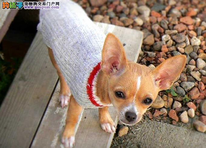 吉娃娃犬堪称世界上最小的犬
