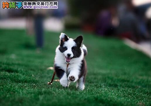 选购边境牧羊犬幼犬8点需注意