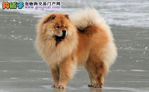想要挑选到健康的松狮犬必先了解它