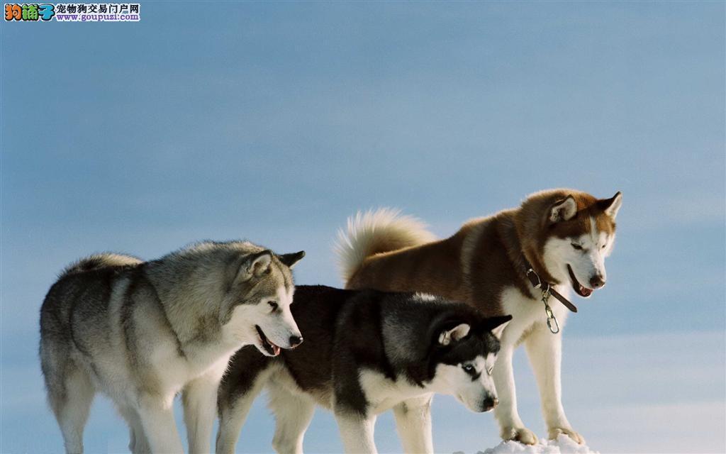 如何与阿拉斯加犬相处