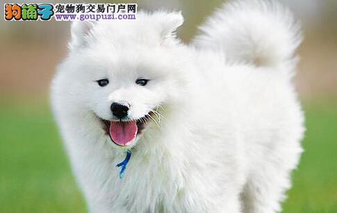 如何正确的带银狐犬散步,狗狗散步路线学问大