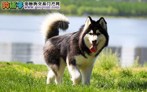 阿拉斯加犬身上痒怎么办,狗皮肤痒和皮肤病有关