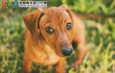 饲养腊肠犬要注意腊肠犬骨刺疾病5