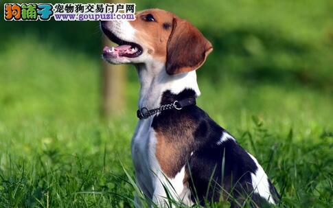 比格犬体臭及比格犬心血管疾病的防治方法