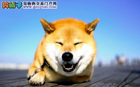 饲养柴犬要注意柴犬训练和柴犬换毛两大问题