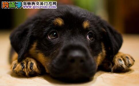 罗威纳犬的视觉和视力到底有多强