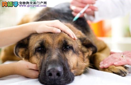 狗狗施打疫苗的注意事项及照护