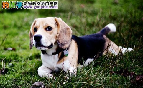 比格犬天生好动,饲养比格犬注意事项