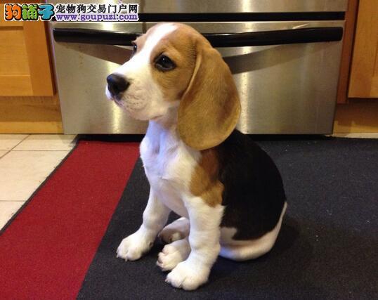 狗狗总追尾巴是怎么了,比格犬追尾巴的原因
