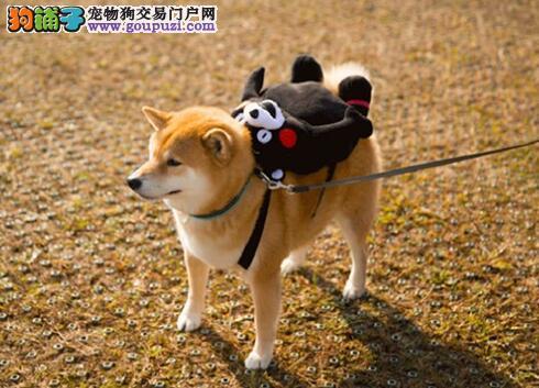 柴犬总是乱叫怎么办?训练柴犬不乱叫的方法