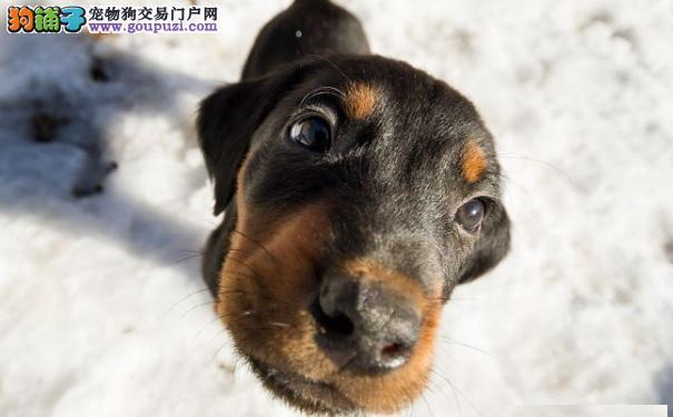 冬季养狗:罗威纳犬保暖清洁方法