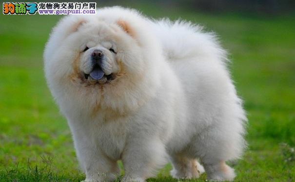 带松狮犬出门遛狗的注意事项