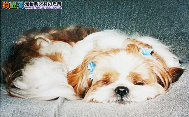 西施犬睡觉姿势判断健康状态