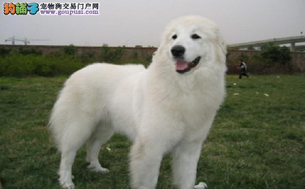 大白熊犬要健康 定期驱虫很重要
