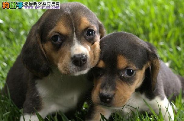 养比格犬须知 比格犬日常健康检测
