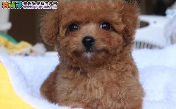 刚断奶的泰迪犬幼犬如何喂养