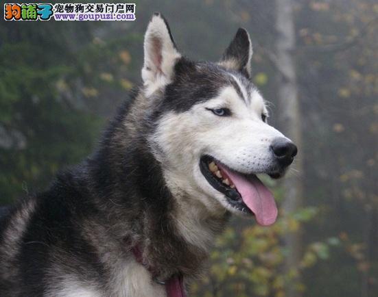 哈士奇雪橇犬讨厌的声音,别让它们影响狗狗心情