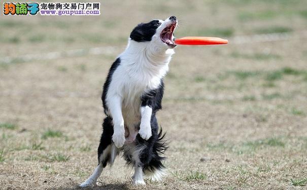 边境牧羊犬训练方法,培养兴趣最重要