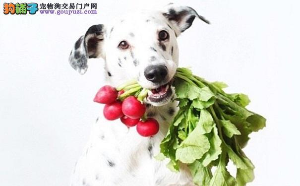 斑点狗饮食均衡是长寿的关键,大麦町犬吃蔬菜须知